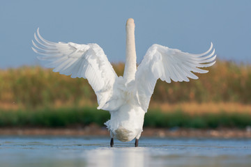 Mute swan, wings outstretched