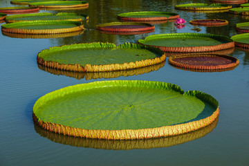 Giant leaves of Victoria Regia, the largest water lily