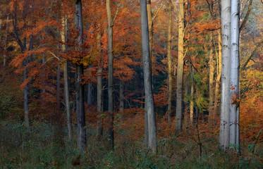Jesienny Bukowy Las