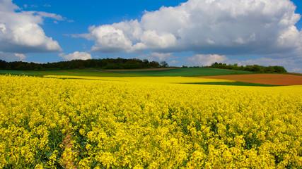 Gelbe rapsfeld