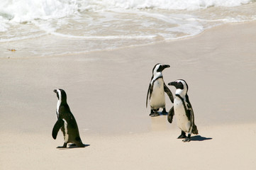 Penguins at Boulders Beach, outside of Cape Town, South Africa