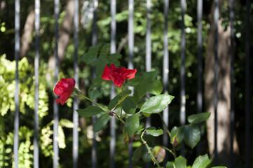 Rose rosse in giardino