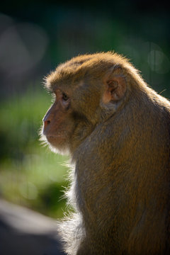 Portrait of brown monkey made from a side.