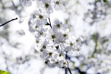 cherry blossoms . spring