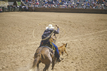 Bronco rider coming out of gate with lasso, Inter-Tribal Ceremonial Indian Rodeo, Gallup NM