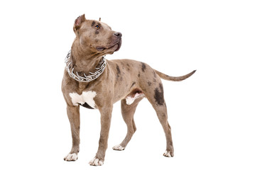 Dog breed pit bull standing isolated on white background