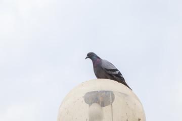 Pigeons in a park, Bangkok Thailand.