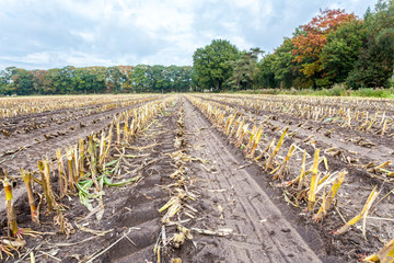 Field with rows of corn stubbles in autumn