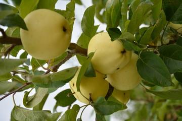 Obraz Jabłko - fototapety do salonu