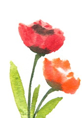 Red tulip flowers , watercolor illustrator