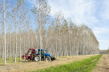 Poplar grove and tractor. Poplar grove. Tractor with machinery for pruning branches