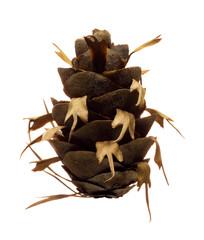 "Douglas fir pine cone isolated on white background ""Pseudotsuga"