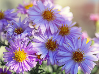 purple Chrysanthemums flowers
