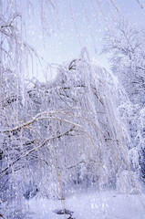 Bottom view on hanging willow branches on ice in snow.