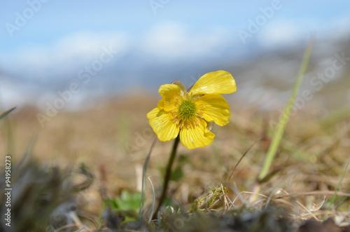 Yellow buttercup flower subarctic swedish mountain tundra stock yellow buttercup flower subarctic swedish mountain tundra mightylinksfo