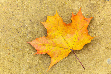 Maple Leaf Lying on the Ground
