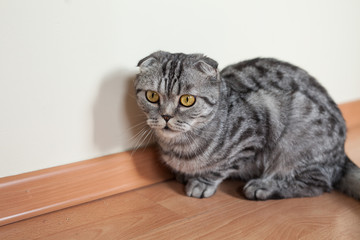 Picture of dun cat sitting on the floor next to the wall