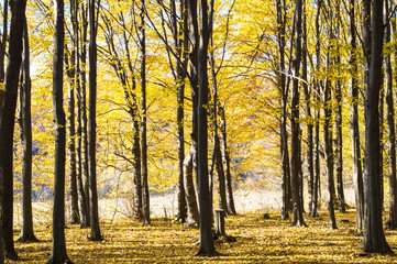 Trunks of trees with fallen yellow leaves