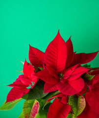 Red and green poinsettia plant for Christmas isolated on green teal background