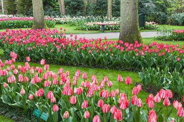 Fototapete - Tulips in Keukenhof Flower Garden, Netherlands