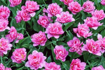 Fototapete - Pink Tulips in Keukenhof Garden, Netherlands