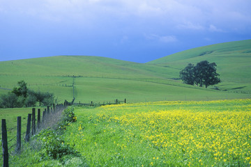 Spring field of Mustard with fence, Cambria, CA