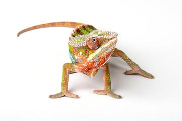 Chameleon on a white background