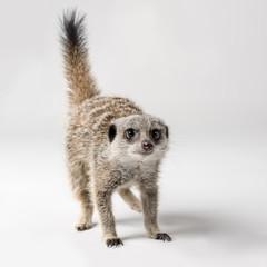 A meerkat on a plain background