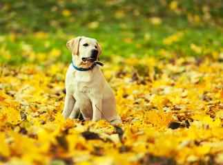 Labrador retriever in autumn park