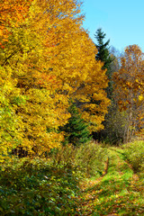 Fall colors, brilliant colored trees and overgrown dirt path