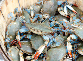 Color DSLR image of a bushel of blue claw crabs (callinectes sapidus) in horizontal orientation
