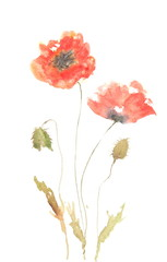 Red poppy flower, watercolor painting