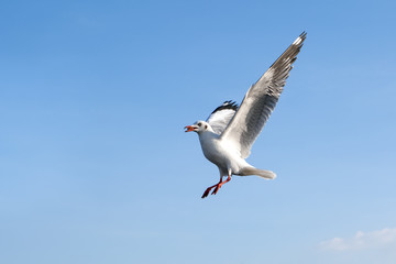 Single sea gull flying against background of blue sky and white