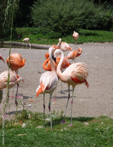 Group Of Flamingos 68
