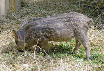 the young boars eating hay