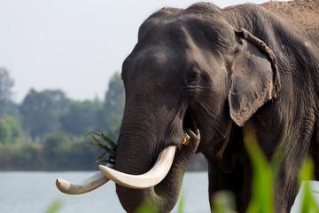 Asia Elephant in surin,Thailand.