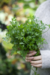 Person holding a bunch of freshly picked parsley