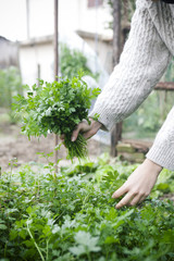 Person picking a bunch of fresh parsley from the vegetable garden