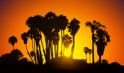 Vintage stylized picture of palms silhouettes at sunset, California