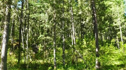 Wall Mural - forest landscape, russian taiga, 4k