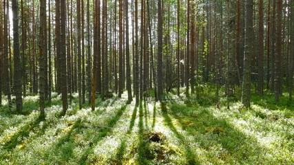Wall Mural - Siberian cedar branch closeup, 4k