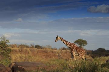 Wild Giraffe in Africa
