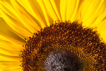 Macro Photo of a Cheerful and Bright Sunflower