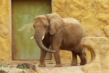 Słoń afrykański w Zoo w Dvur Kralowe (Czechy).