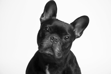 Poster Bouledogue français bulldog francés