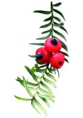 Taxus (yew) twig