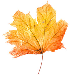 autumn yellow maple leaf isolated on the white background
