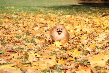 Running pomeranian dog. Portrait of cute pomeranian dog. Autumn dog. Dog in autumn yellow maple leaves.