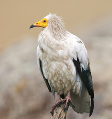 Egyptian vulture on nature background