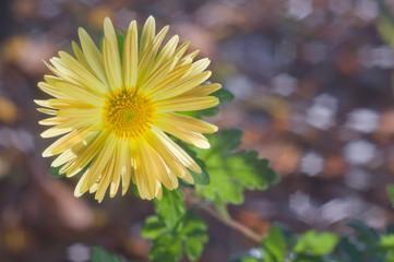 Yellow chrysanthemum on background bokeh